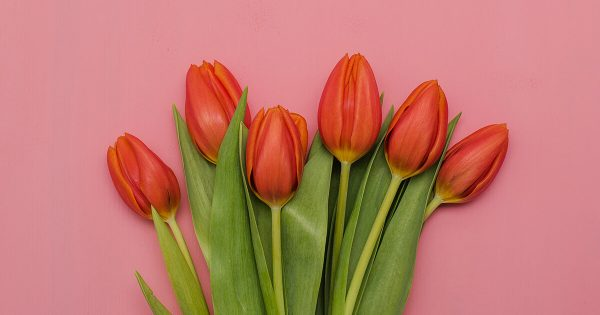 Red Tulips on a Pink Background